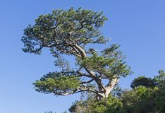 Relict pine on the background of a cloudless sky. Novyy Svet, Crimea Royalty Free Stock Images