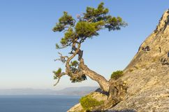 Relict pine on the background of a cloudless sky. Relict pine on a steep rocky slope above the sea against a cloudless sky. Karaul-Oba, Novyy Svet, Crimea Royalty Free Stock Image