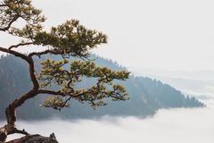 Relict pine on a background of mountains. On the background of grey sky Stock Images