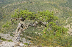 Relict pine. Crimea. Relict pine on a mountainside. Crimea Royalty Free Stock Photos