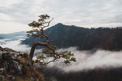 Relict pine grows from a rock in the mountains. Against the gray sky Royalty Free Stock Images