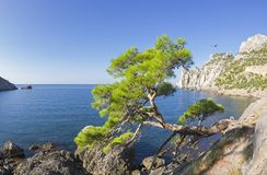 Relict pine at the mountain path over the sea. Crimea. Relict pine from the remnants of the Golitsyn Trail leading from the Novyy Svet to the Royal beach. The Royalty Free Stock Image