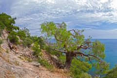 Relict pine at the mountain path. Sunny summer day. Crimea Royalty Free Stock Image