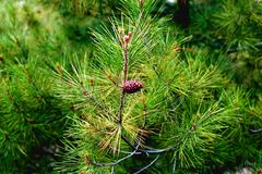 Relict pine (Pinus brutia). Relict pine from Noviy Svet, Crimea Royalty Free Stock Image