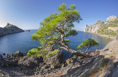 Relict pine at the mountain path over the sea. Crimea. Relict pine from the remnants of the Golitsyn Trail leading from the Novyy Svet to the Royal beach. The Stock Photography