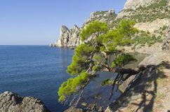 Relict pine at the mountain path over the sea. Crimea. Relict pine from the remnants of the Golitsyn Trail leading from the Novyy Svet to the Royal beach. Sunny Royalty Free Stock Photos