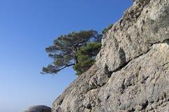 Relict pine on a rock. Crimea. Stock Photos