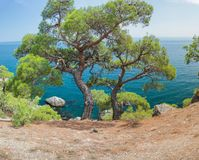 Relict pine on a rocky seashore against the backdrop of the sea. royalty free stock images