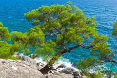 Relict pine on a rocky seashore against the backdrop of the sea. Karaul-Oba, Novyy Svet, Crimea Royalty Free Stock Image