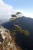 Relict pine on Sokolica peak- symbol of Pieniny Mountains Stock Photo