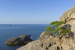 Relict pine on a steep rocky seashore. Sunny morning. Karaul-Oba, Novyy Svet, Crimea Stock Images