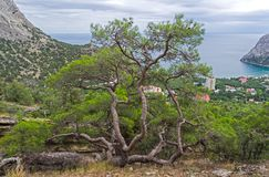 Relict pine above the sea. Relict pine on a steep rocky shore above the sea. Crimea Stock Photo