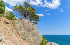 Relict pine above the sea. Relict pine on a steep rocky shore above the sea. Crimea Stock Images