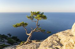 Relict pine on a steep rocky slope against the sea. Oba, Novyy Svet, Crimea Royalty Free Stock Photography
