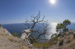Relict pine trees above the sea. Crimea. royalty free stock images