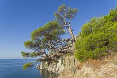 Relict pine above the sea. Relict pine with a trunk of a bizarre shape on a steep rocky shore above the sea. Crimea Stock Photography