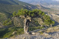 Relict pine with a whimsically twisted trunk. Slope of Mount Sokol, Sudak, Crimea Stock Photo