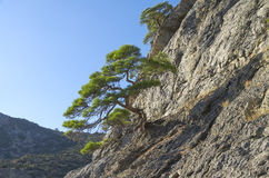 Relict pines on the rock. Crimea. Relict pine trees on a steep mountain slope. Crimea Royalty Free Stock Image
