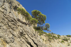 Relict pines on the rock. Crimea. Relict pine trees on a steep mountain slope. Crimea Royalty Free Stock Photo