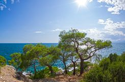 Relict pines on the seashore under the bright summer sun. Karaul-Oba, Novyy Svet, Crimea Stock Image