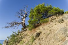 Relict pines on a steep seashore. Sunny morning. Karaul-Oba, Novyy Svet, Crimea Royalty Free Stock Images