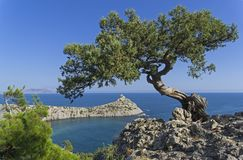 Relict tree-like juniper against a cloudless sky. Relict tree-like juniper Juniperus excelsa against a cloudless sky. Coast of the Black Sea, Novyy Svet, Crimea Royalty Free Stock Photography