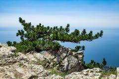 Relicten vaggar på överkanten av klippan med ensamt sörjer mot bakgrunden av en molnfri himmel crimea arkivbild