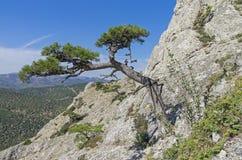 Relictkiefer auf einem steilen Berghang Lizenzfreies Stockfoto