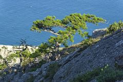 Relictkiefern auf den Küstenfelsen gegen das Meer Lizenzfreies Stockbild