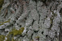 The relief birch bark is covered with white moss Royalty Free Stock Photography