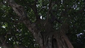 Relief trunk of a large deciduous tree. Maldives video. Horizontal stock video footage