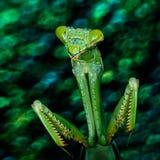 Religiosa богомола или Mantis Стоковые Фото