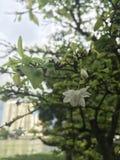 Religiosa Benth di Wrightia dei fiori stanno fiorendo di mattina immagini stock libere da diritti