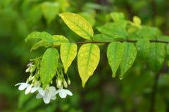 (Religiosa Benth Wrightia ), то Стоковое Изображение