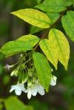 (Religiosa Benth Wrightia ), то Стоковое Изображение RF