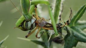 Religiosa de la mantis religiosa que come un bruennichi del Argiope de la araña de la avispa metrajes