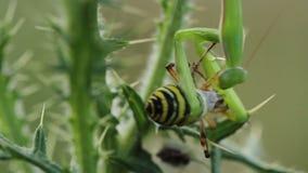 Religiosa de la mantis religiosa que come un bruennichi del Argiope de la araña de la avispa almacen de metraje de vídeo
