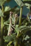 Religiosa do Mantis Imagem de Stock Royalty Free