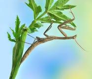 Religiosa do Mantis de Mantid Fotografia de Stock