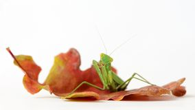 Religiosa Mantis богомола изолированное на белизне Стоковое Изображение RF