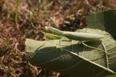 Religiosa Mantis богомола сидя на лист Стоковое Изображение RF