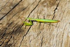 Religiosa Mantis богомола Стоковые Фото