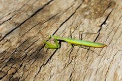 Religiosa Mantis богомола Стоковое Изображение