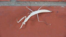 Religiosa Mantis насекомое в Mantidae семьи видеоматериал