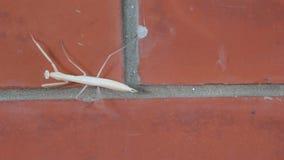 Religiosa Mantis насекомое в Mantidae семьи акции видеоматериалы