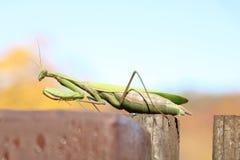 Religiosa Mantis на загородке Стоковое фото RF