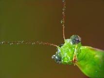 religiosa mantis росы влажное Стоковые Изображения RF