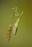 Religiosa Mantis Стоковые Фотографии RF