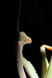 religiosa mantis στοκ φωτογραφίες με δικαίωμα ελεύθερης χρήσης