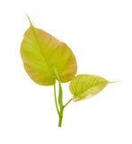 Religiosa Pipal Tree, Bohhi leaf, Bo Tree, Peepul, Ficus. Trust , cliam Royalty Free Stock Image